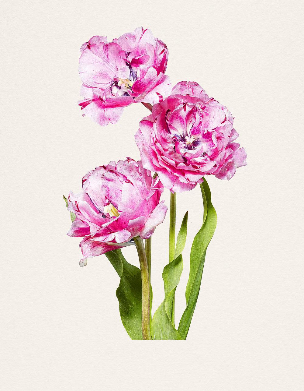بالصور صور الورد , اجمل واحلى ورد 4661 1