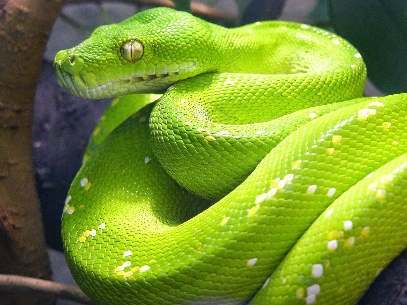 بالصور اكبر ثعبان في العالم , صورة حيوانات من الطبيعة 5268 3