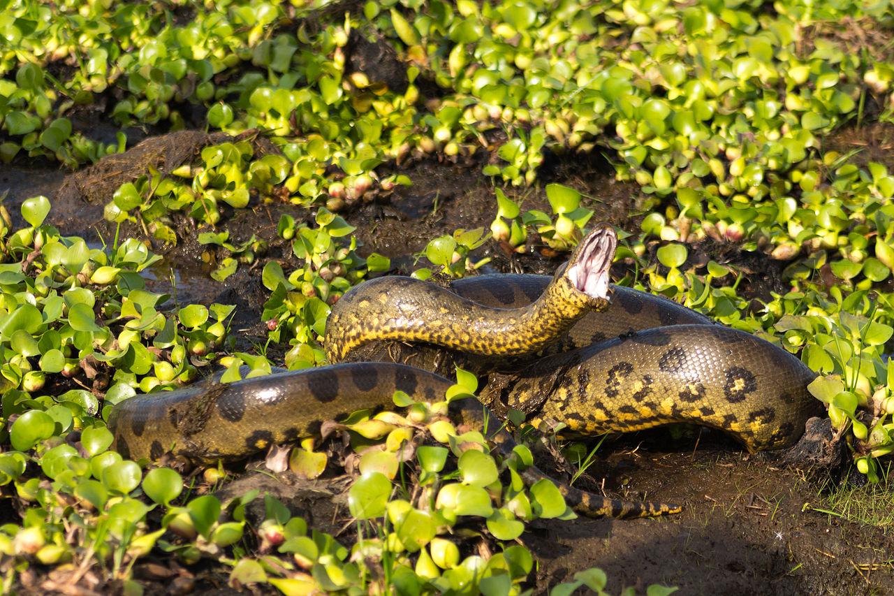 بالصور اكبر ثعبان في العالم , صورة حيوانات من الطبيعة 5268 6