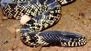 بالصور اكبر ثعبان في العالم , صورة حيوانات من الطبيعة 5268 9