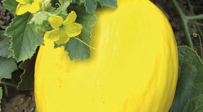 صور بطيخ اصفر , صور جديدة غريبة لثمار
