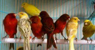 بالصور انواع الكناري , اجمل فصائل عصافير الكناريا 2080 3 310x165