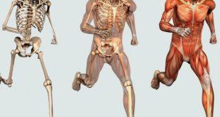 بالصور كم عدد عضلات جسم الانسان , فكر وحل اللغز 2563 2 310x165