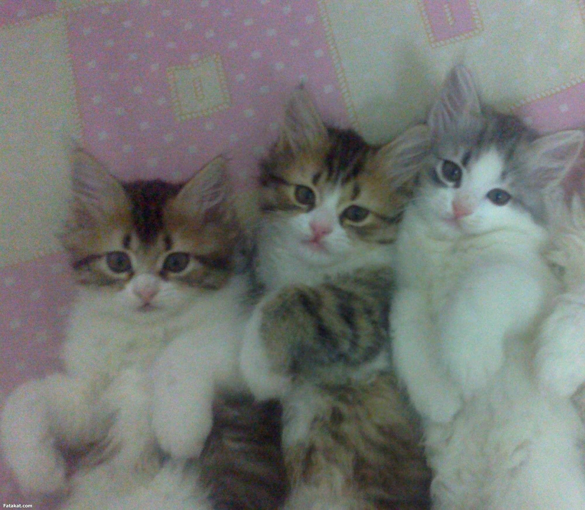 صور قطط رومي , اجمل انواع القطط فى العالم