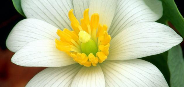 صورة زهر الليمون , طريقة عمل زهر الليمون 678 1