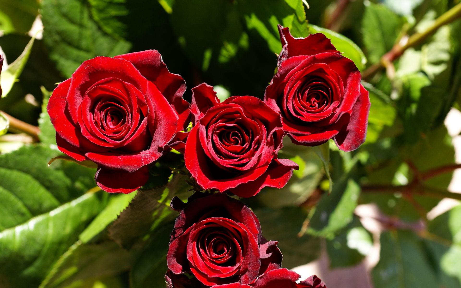 بالصور صور اجمل الورود , اجمل الورود واحلاها 3662 2