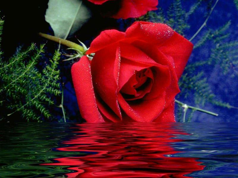 بالصور صور اجمل الورود , اجمل الورود واحلاها 3662 3