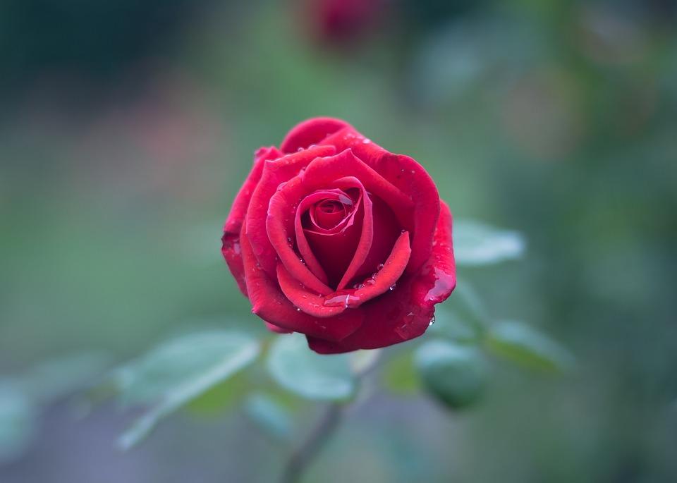 صوره صور اجمل الورود , اجمل الورود واحلاها