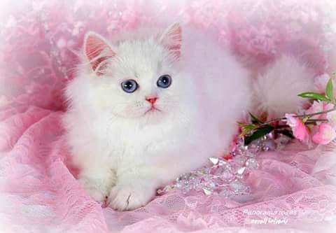 بالصور اجمل الصور للقطط في العالم , صور متعدده للقطط في العالم 398 6