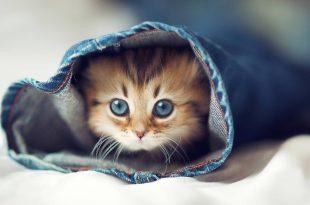 بالصور اجمل حيوان في العالم , الحيوان الاجمل في العالم وهي القطط 495 12 310x205