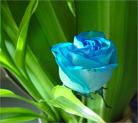 بالصور اجمل ورود العالم , اروع ورد جميل في العالم 616 12
