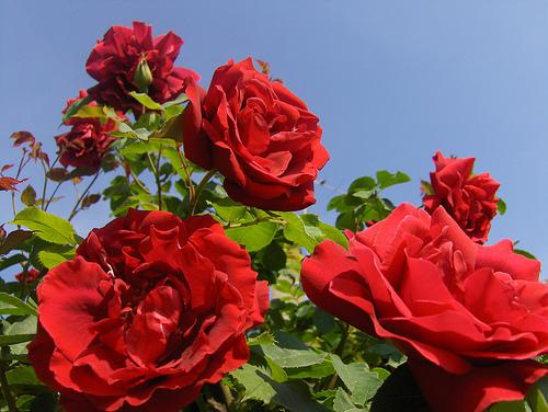 بالصور اجمل ورود العالم , اروع ورد جميل في العالم 616 3