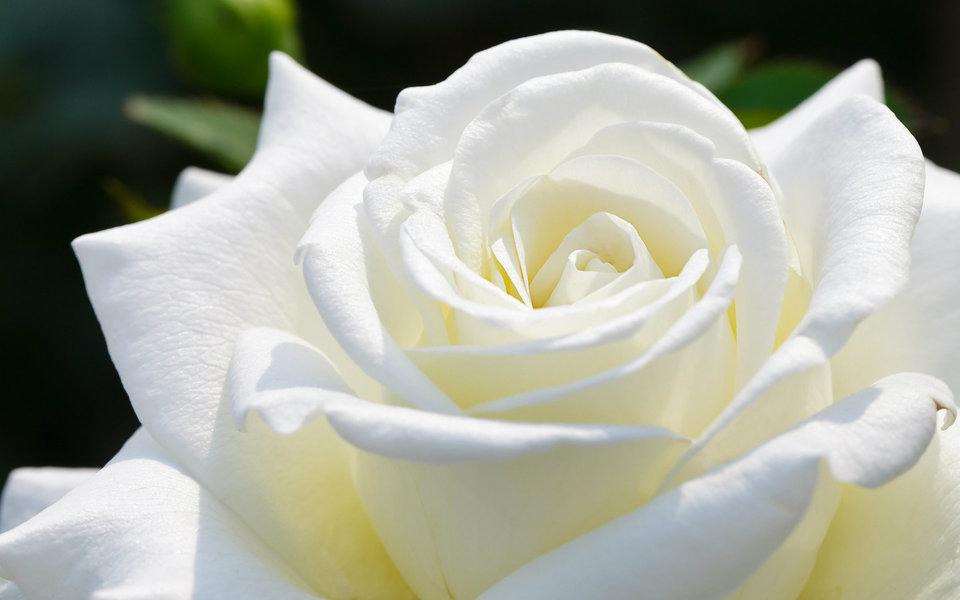 بالصور اجمل ورود العالم , اروع ورد جميل في العالم 616 4