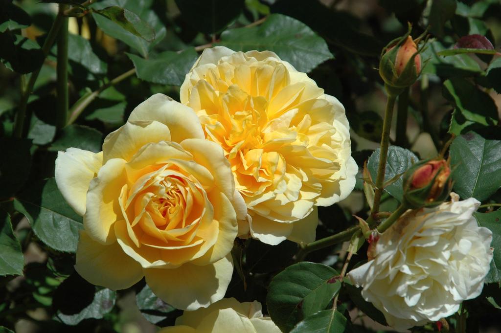 بالصور اجمل ورود العالم , اروع ورد جميل في العالم 616 7
