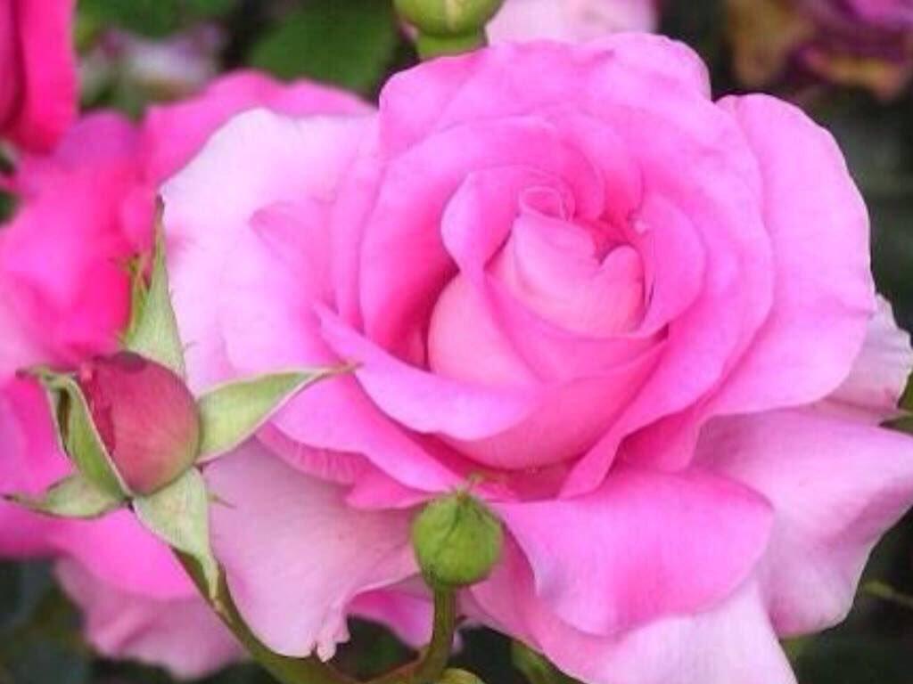 بالصور صور ورد حلوه , احلى باقه صور من الورود 6161 11