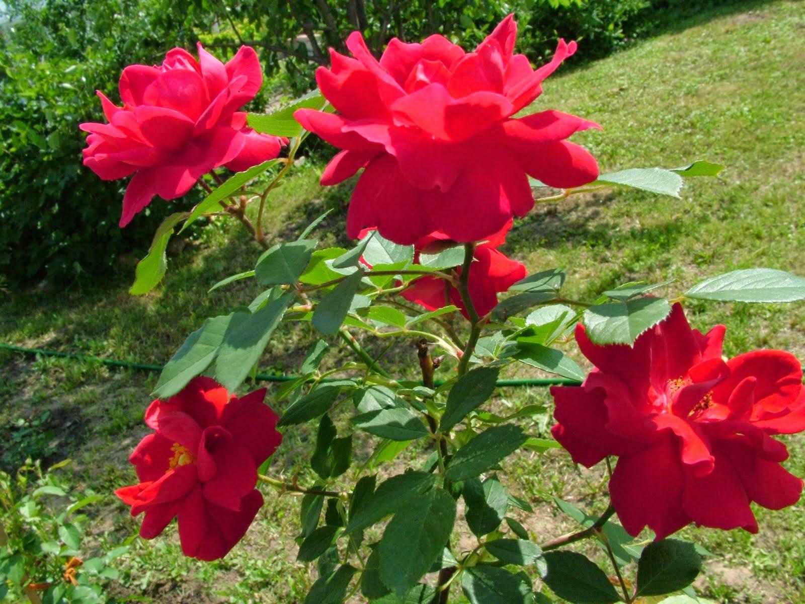 بالصور صور ورد حلوه , احلى باقه صور من الورود 6161 9