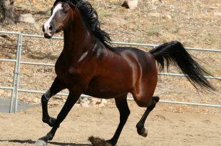 بالصور اجمل صور خيول , اجمل الخيول الساحرة 3579 13 310x205