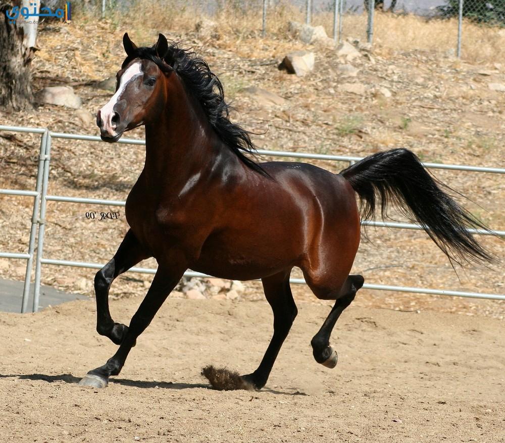 بالصور اجمل صور خيول , اجمل الخيول الساحرة 3579