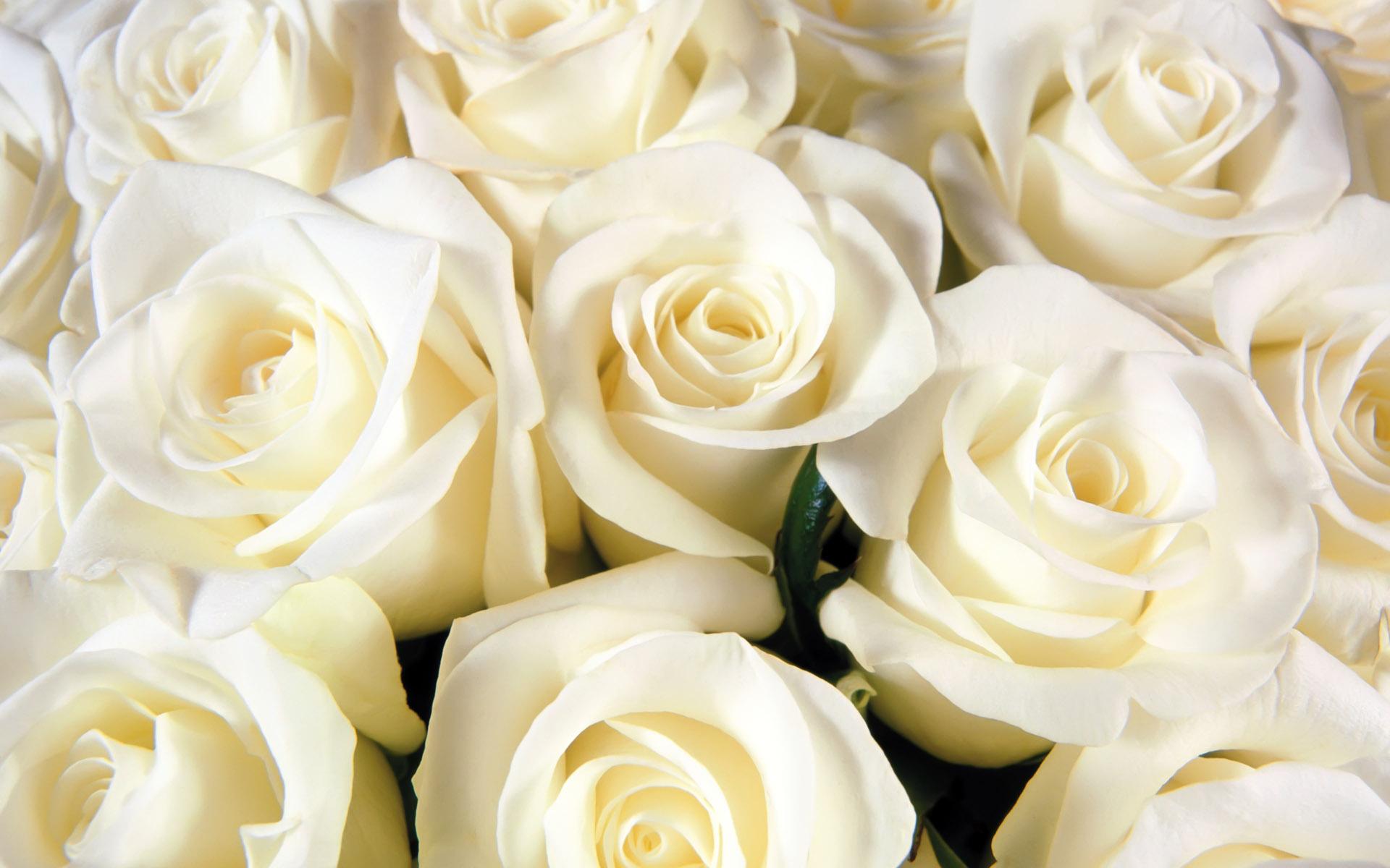 بالصور بوكيه ورد ابيض , اجمل باقات الورد الابيض 3661 10