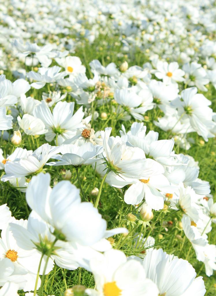 بالصور بوكيه ورد ابيض , اجمل باقات الورد الابيض 3661 5
