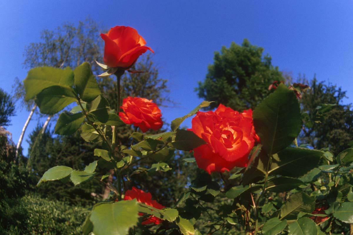 بالصور صور زهور , الزهور وجمالها في صور 86 4