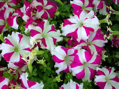 بالصور صور زهور , الزهور وجمالها في صور 86 9