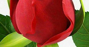 صور وردة جميلة حمراء , صور ورود جميلة