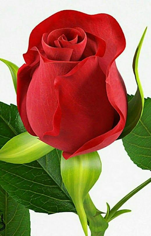 صورة وردة جميلة حمراء , صور ورود جميلة
