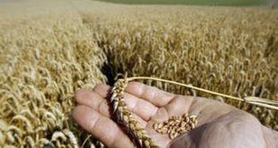 بالصور تفسير حلم حصاد القمح , القمح في المنام 12957 2 310x165