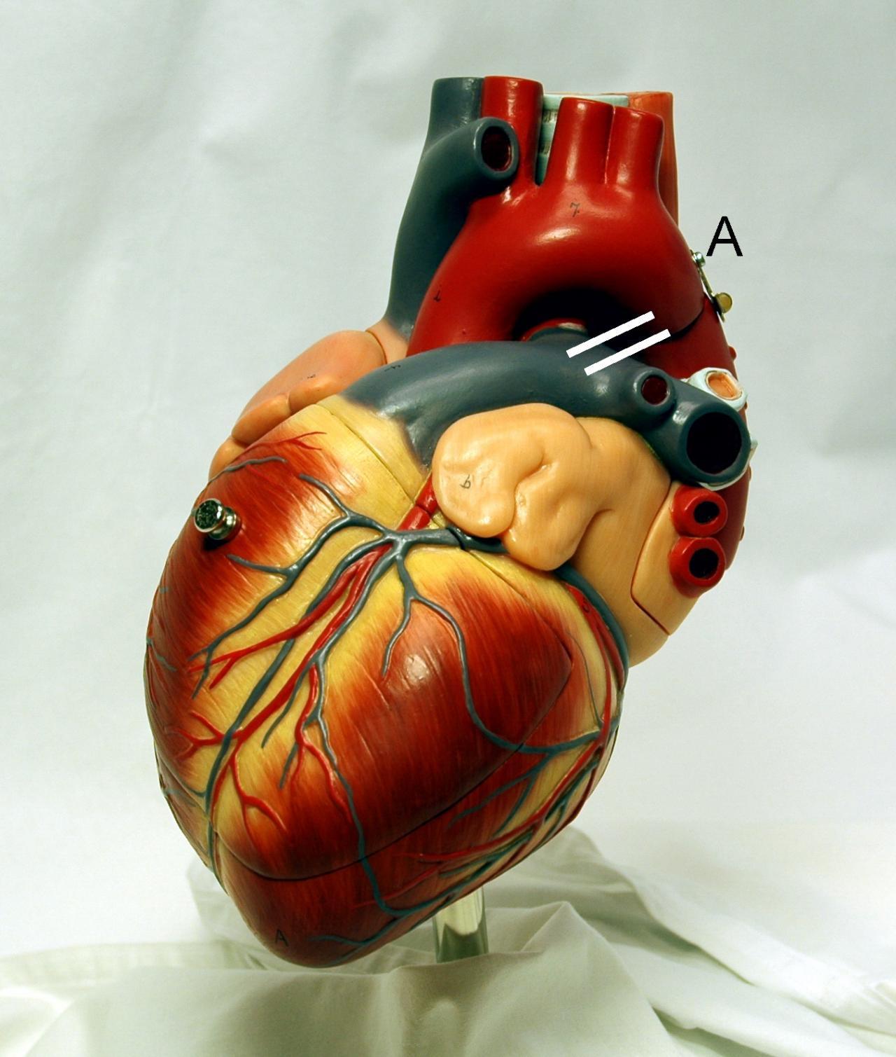 صورة صور قلب الانسان , صور اروع قلوب البشر