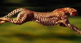 صور اسرع حيوان في العالم , تعرف على اقوى حيوان فى السرعه