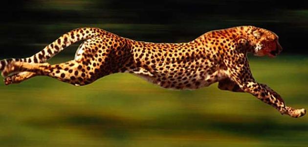 صورة اسرع حيوان في العالم , تعرف على اقوى حيوان فى السرعه
