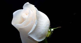 صور احلى صور ورد , الورد يسعد القلوب ويعبر عنها