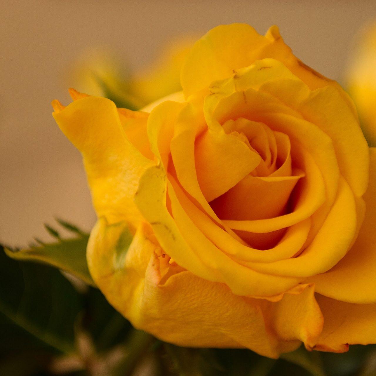 صورة احلى صور ورد , الورد يسعد القلوب ويعبر عنها