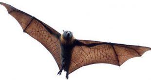 صور معلومات عن الخفاش , حقائق عن الوطواط