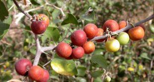 صورة ما هو السدر , تعرف على نبات السدر